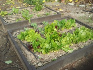 Far Box: Green Leaf, Perpetual Spinach, Green Pepper (that survived the winter!) Near Box: Lettuce varieties, Broccoli