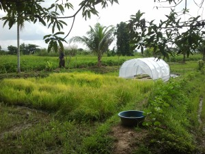 The Charis Learning Farm: it looks totally different now in the dry season with tomatoes, corn, eggplant and yams.